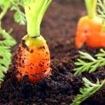 Як виростити хорошу морква на дачі