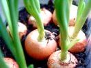 Як виростити цибулю на підвіконні