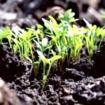 Як виростити розсаду