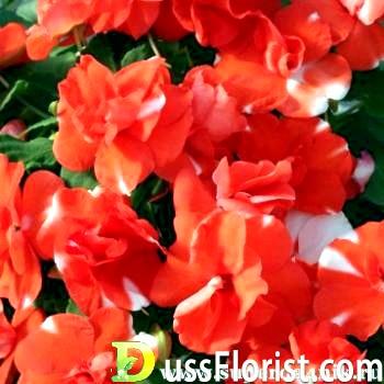 Коли і як садити бальзамін