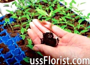 Коли садити перець на розсаду