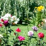 Коли садити троянди