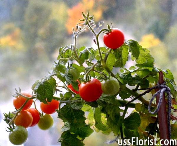 Кращі сорти томатів для теплиць. Що вибрати? -