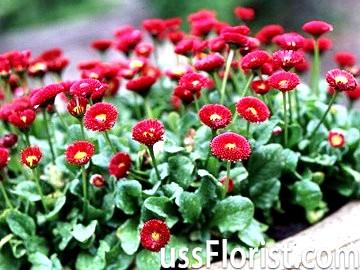 Багаторічні низькорослі квіти - маргаритки