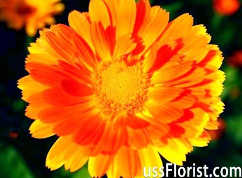 Невибагливі квіти для дачі