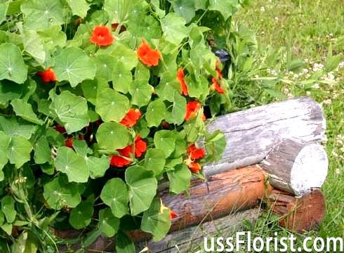 Невибагливі однорічні квіти