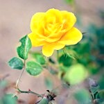 Обрізка троянд після цвітіння