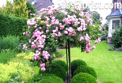 Роза на штамбі – фото