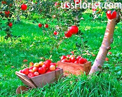 Яблуня – фото