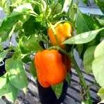 Посадка насіння перцю на розсаду