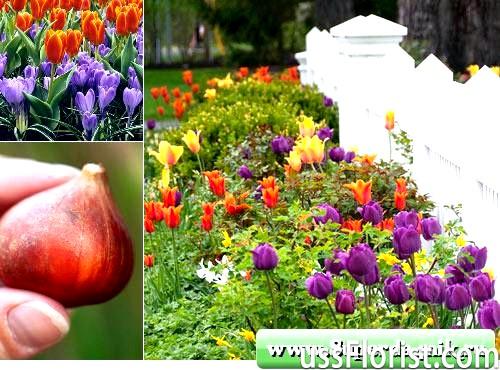 Посадка тюльпанів восени. Просто і красиво