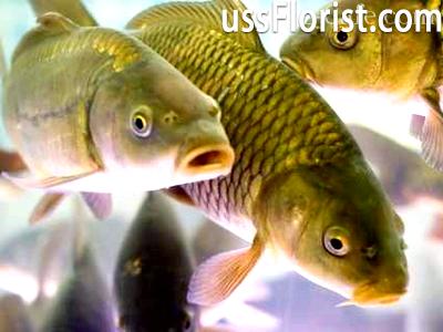 Невибагливі в догляді види риб – фото