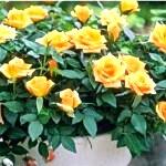 Старовинні назви зимостойких сортів троянд