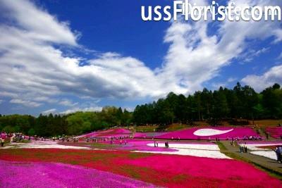 Шилоподібні флокси в парку Хіцужіяма – фото