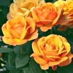 Догляд за трояндами в саду восени