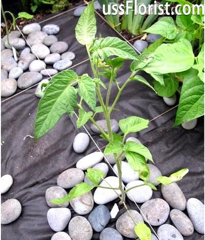 Вирощування помідорів на ділянці – фото