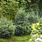 Вічнозелені рослини для живоплоту