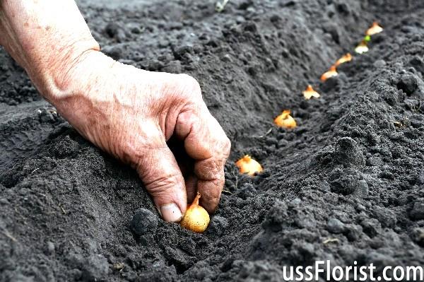 Чи можлива посадка цибулі севка під зиму. Коли садити цибулю під зиму