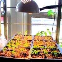 Вирощування розсади перцю солодкого