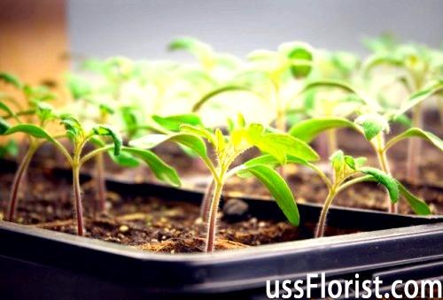 Вирощування розсади томатів. Тонкощі